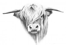 Highland Cattle   'Beast Of The Moor'